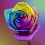 Rainbow Rose Flower