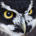 black and white spectacled owl